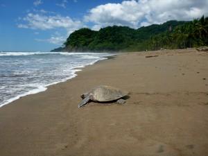 CZ Beach Turtle